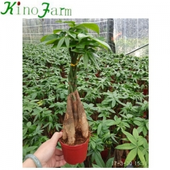 5 Braided Money Tree Pachira